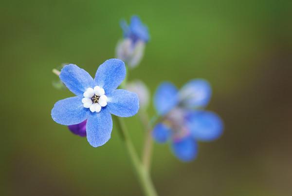 081|Wildflower [Western Hound's Tongue]