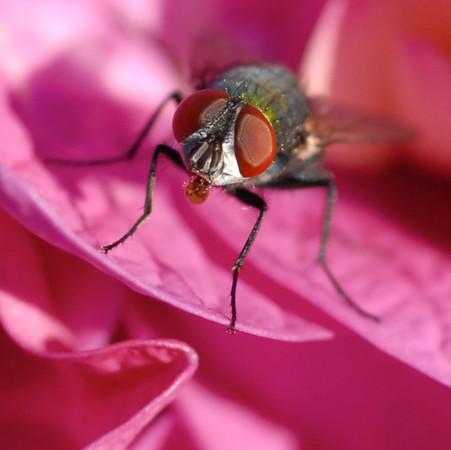 168|Hydrangea Fly